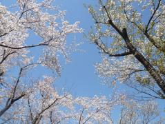 0402sakura1_20080402090609.jpg