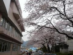 0408sakura1.jpg