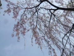 0410sakura11.jpg