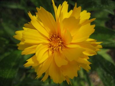 キンケイ菊