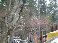 大平山頂桜