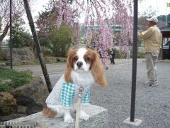 しだれ桜とリヴ