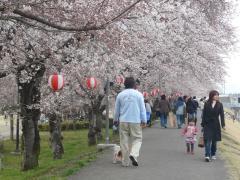 パパと桜並木を歩く