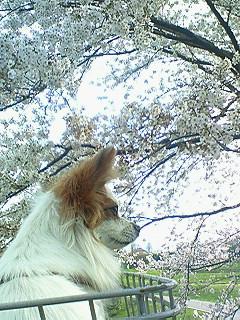 パピィと桜1