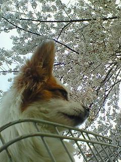 パピィと桜2
