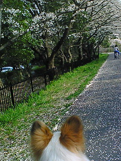 パピィと桜3