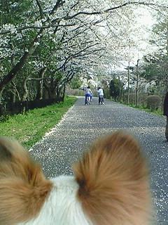 パピィと桜4