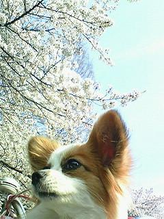 パピィと桜5