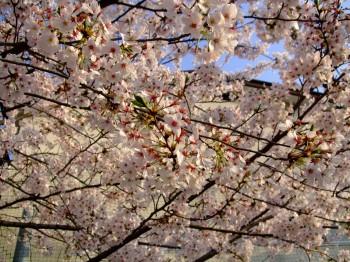 もう葉桜?