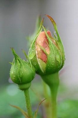 rose10.jpg