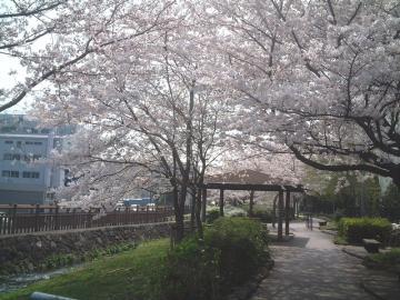 桜とあずまや