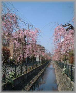 用水のしだれ桜