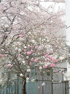 二色の桜b