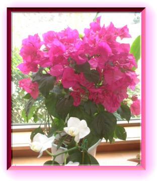 花束eブーゲンビリア