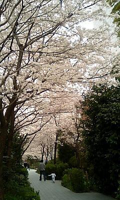 某所の桜2008