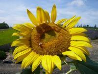ミツバチ勤務中