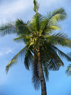 マラパスクアの椰子