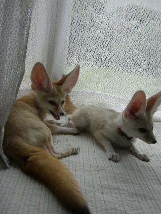 サハラとココ