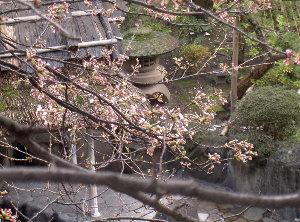 桜 0031