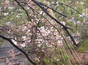 露天の桜330 002