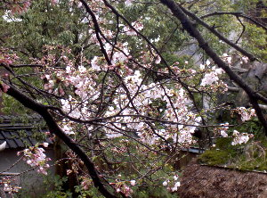 露天の桜4.1 002