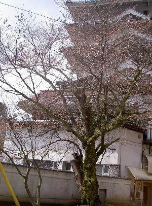 露天の桜4.1 003