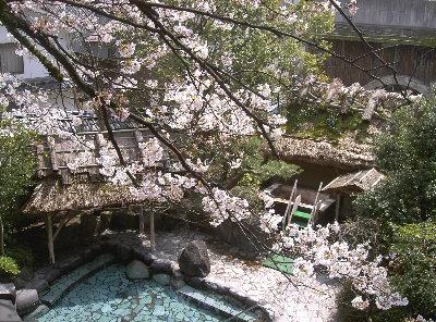 露天の桜4.3 001