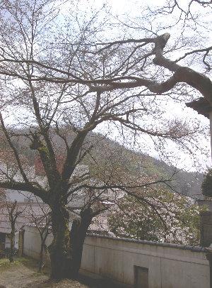 露天の桜4.3 002