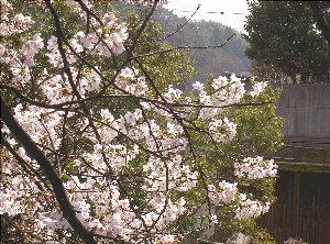 露天の桜4.3 004