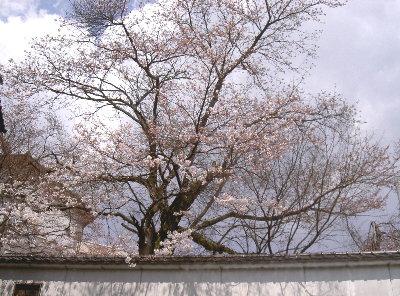 露天の桜4.3 007