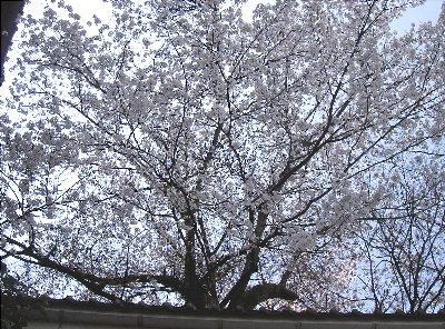 露天の桜4.6 008