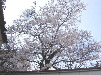 露天の桜4.6 004