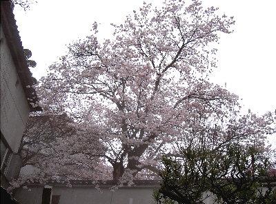 露天の桜4.7 006