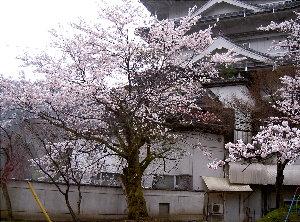 露天の桜4.7 002
