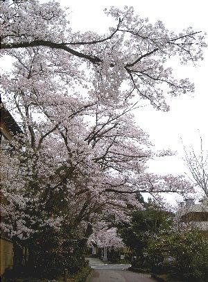 露天の桜4.9 005