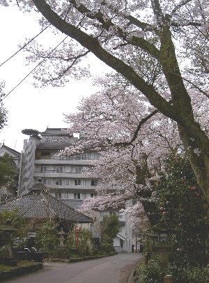 露天の桜4.9 006