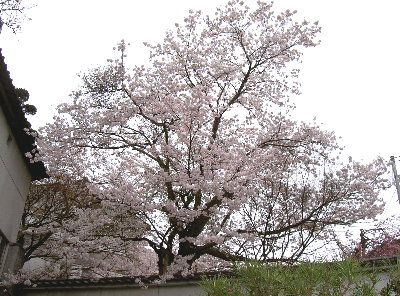 露天の桜4.9 011