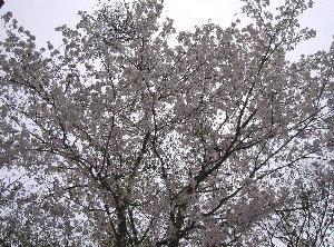露天の桜4.9 012