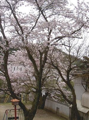 露天の桜4.9 010