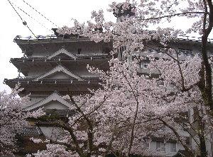 露天の桜4.9 013
