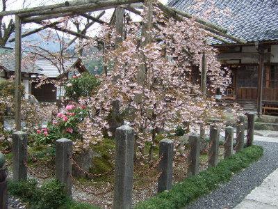 正福寺桜 001