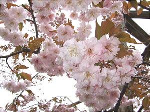正福寺桜 005