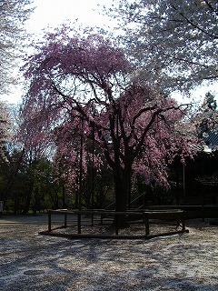 枝垂れ桜と大和田 019