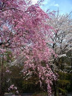 枝垂れ桜と大和田 009