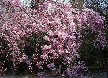 枝垂れ桜と大和田 011