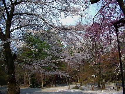 枝垂れ桜と大和田 012