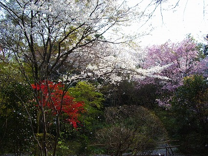 枝垂れ桜と大和田 030