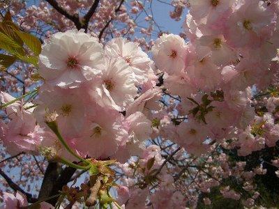 八重桜を見てきたよ♪