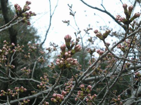 4月21日の桜。