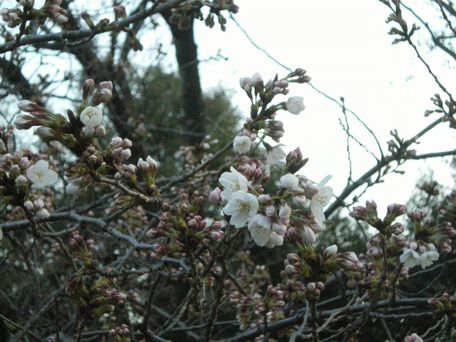 3月22日の桜。